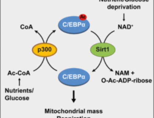 A p300 and SIRT1 Regulated Acetylation Switch of C/EBPa Controls Mitochondrial Function