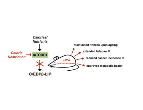 Reduced expression of C/EBPβ-LIP extends health and lifespan in mice